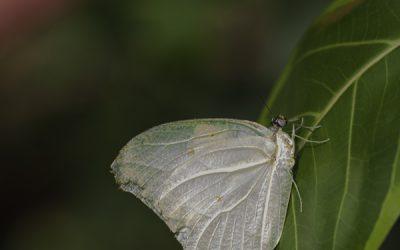 Antheo chlorinde ou Faux citron du cassier (Amérique centrale)