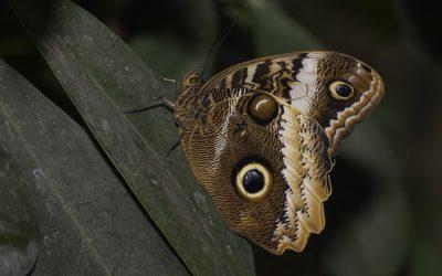Caligo atreus ou Papillon hibou ( Mexique, Amérique centrale)