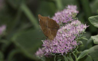 Doleschatia bisaltide ou Papillon feuille ( Thaïlande, Birmanie)