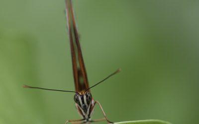 Dryadula pheatusa ou Banded Longwing (Costa Rica)