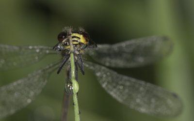Erythromma viridulum ou Naïade au corps vert