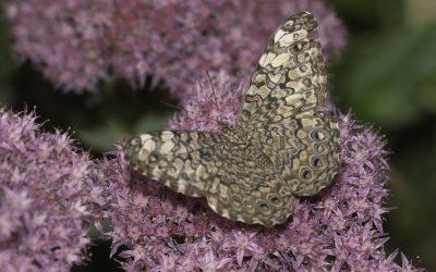 Hamadryas februa ou Craqueur gris (Amérique centrale)