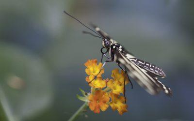 Heliconius charithonia ou Héliconius zèbre ( Amérique centrale)