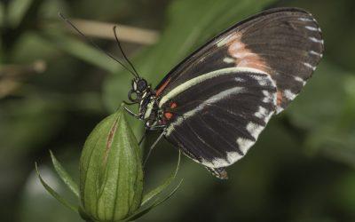 Heliconius erato ou Small Postman (Amérique centrale)