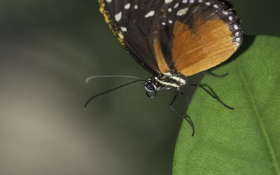 Heliconius hecale ou Golden Longwing (Mexique, Amérique centrale)