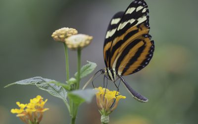 Heliconius ismenius ou Tiger Stripped Longwing (Costa Rica)