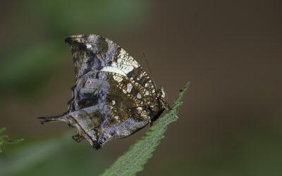 Hypna clytemnestra ou Marble Leafwing (Amérique centrale, Amazonie)