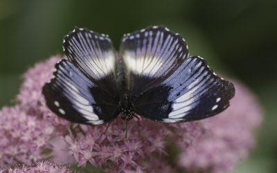 Hypolimnas salmacis ou Diadème Bleu (Afrique tropicale)