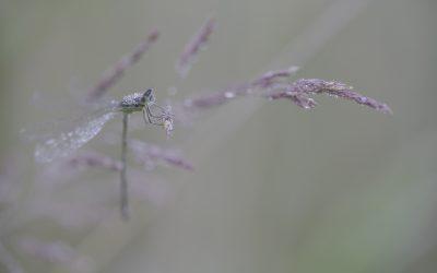 Ischnura elegans ou Agrion élégant