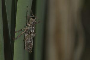 libellula_quadrimaculata_0007