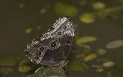Morpho helenor ou Morpho bleu (Guyane)