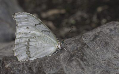 morpho polyphemus ou Morpho blanc (Amérique centrale)