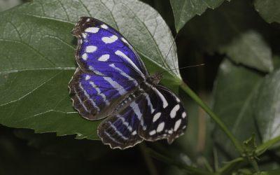Myscelia cyaniris ou Petite tache (Amérique centrale et du sud)