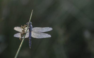 Orthetrum cancellatum ou Orthétrum réticulé