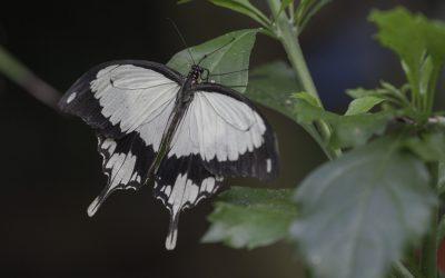 Papilio dardanus ou Voilier faux Monarque (Afrique tropicale)