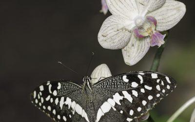 Papilio demodocus ou Voilier des citronniers (Afrique tropicale)
