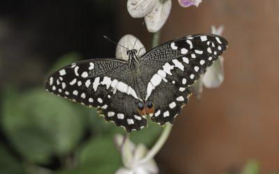 Papilio demodocus ou Voilier des citroniers (Afrique tropicale)