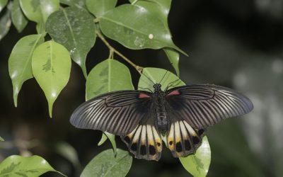 Papilio memnon ou Grand Mormon (Asie du sud-est)
