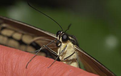 Papilio thoas ou Voilier géant (Amérique centrale)