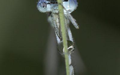 Platycnemis pennipes ou Agrion à larges pattes