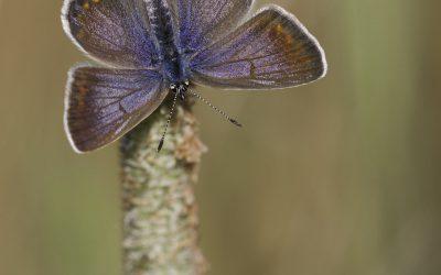 Azuré brun