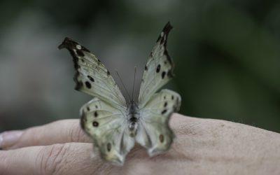Papilio parhasus ou Perlé (Afrique tropicale)