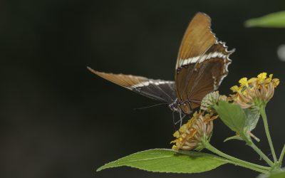 Siproeta epaphus ou Rusty Tipped Page (Amérique du sud)