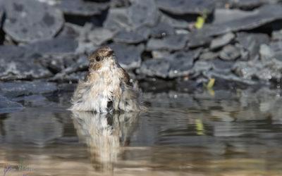 Gobemouche noir - femelle